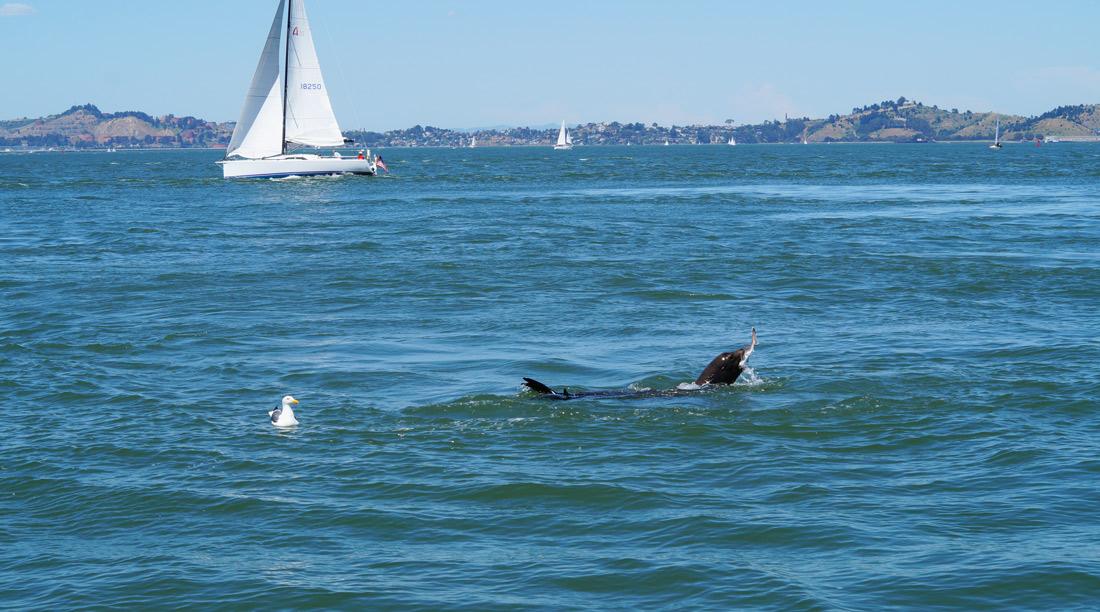 Bag-at-you---San-Francisco---Seal-in-the-Bay