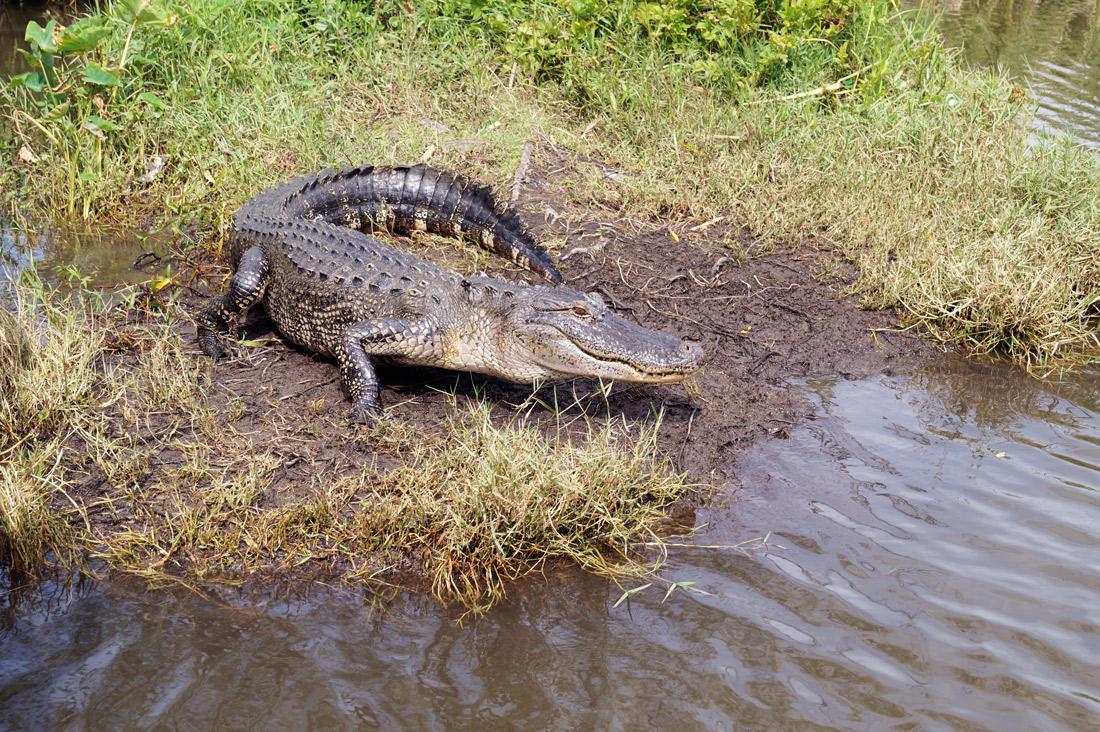 Bag-at-you---Travel-blog---alligator